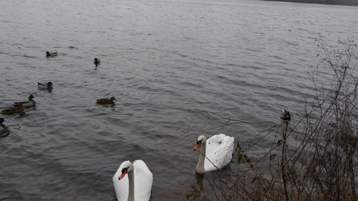 Wir kümmern uns um die Betreuung der Schwäne auf dem See